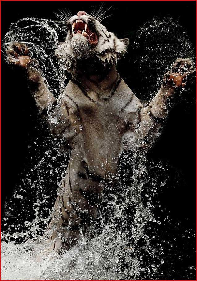 קפיצת הנמר מהמים