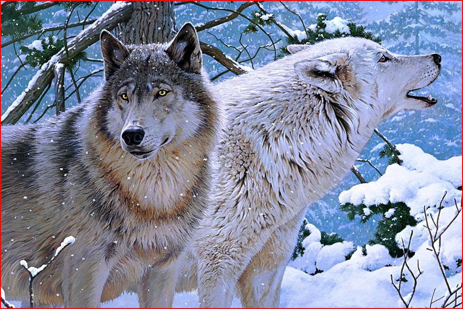 תמונות של זאבים בחורף