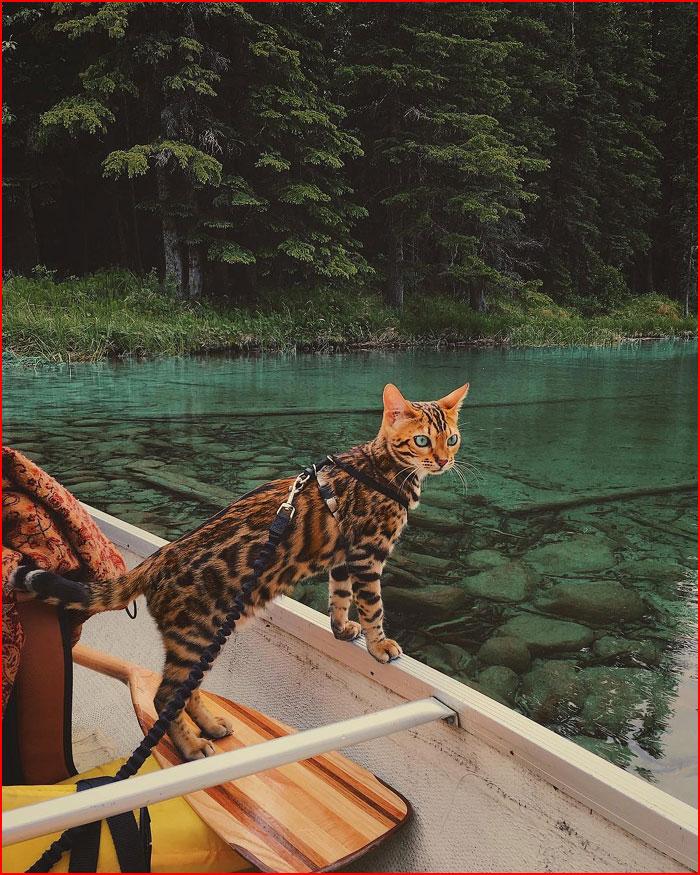 חתול-תייר מקנדה