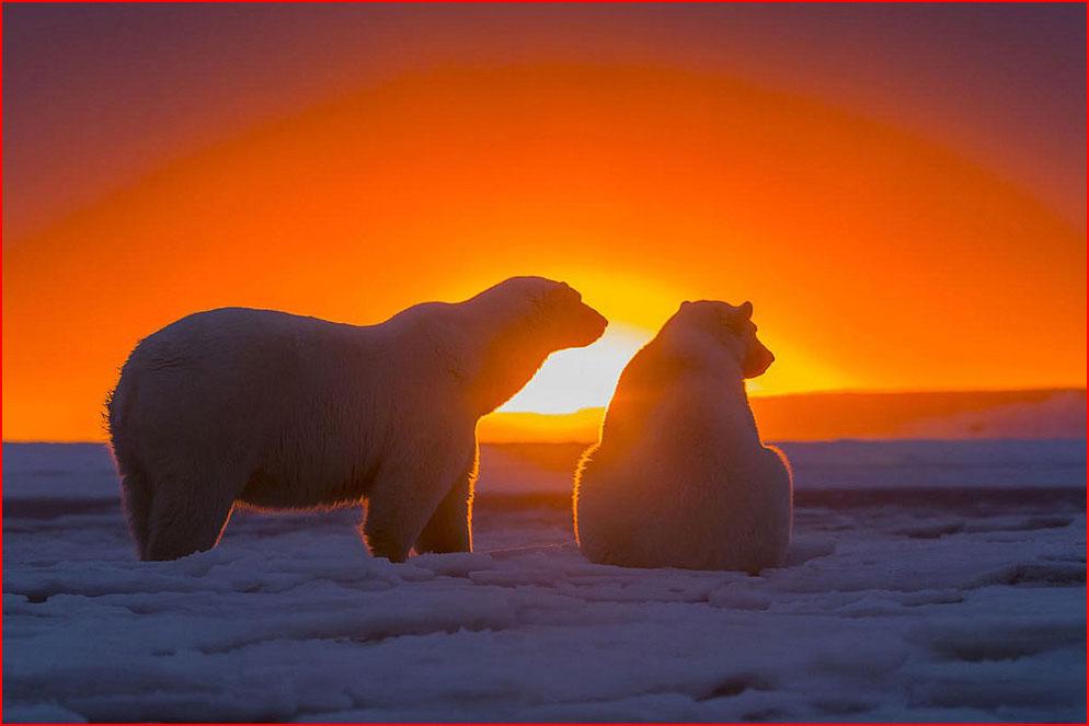 דובים לבנים באלסקה - צילומיו מאת סילבן קורדיה