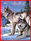 תמונות של זאבים בחורף (17 תמונות)