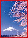 פריחת סאקורה ביפן
