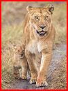אריות במסאי-מרה