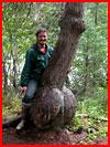 ביער שחור יש עץ גדול