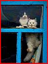 לכל חתול יש את החלון משלו