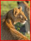 אריות (12 תמונות)